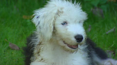 Old English Sheepdog juvenile on lawn Stock Footage