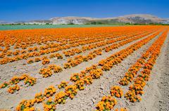 Marigold farm in california Stock Photos
