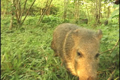 Peccary in the Amazon Stock Footage