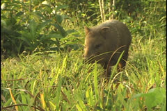 Collared Peccary at a farm in the state of Acre, Brazil Stock Footage