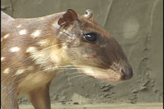 Agouti or paca at a farm in the state of Acre, Brazil. Stock Footage