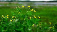buttercups - stock footage