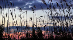 Reeds at sunset Stock Footage