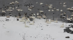 Noisy Trumpeter Swans Stock Footage