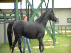 Horse Being Walked in Circles Stock Footage
