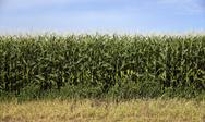 Stock Photo of farmers corn field crop under blue sky produce food commodity