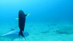 Surgeonfish Stock Footage