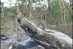 Burning tree in Amazon. Stock Footage
