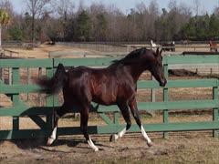 Stallion Prancing and Posing 2 Stock Footage