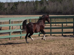 Stallion Prancing in Slow-Motion 2 Stock Footage