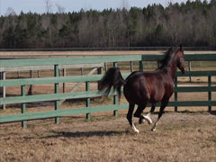 Stallion Prancing in Slow-Motion 3 Stock Footage