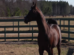 Stallion Prancing in Slow-Motion 4 Stock Footage