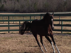 Stallion Prancing in Slow-Motion 5 Stock Footage