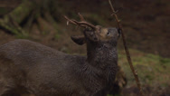 Stock Video Footage of Roe deer