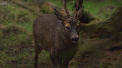 Roe deer Stock Footage