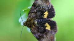 Small yellow underwing - macro Stock Footage