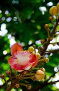 cannonball tree flower grow from stalks which sprout from the trunk of the tr - stock photo