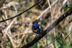 blue-throated robin - stock photo
