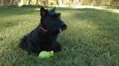 Scottish terrier Stock Footage