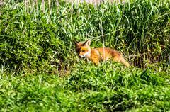 Fox-cub Stock Photos