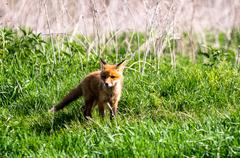 Fox-cub Stock Photos