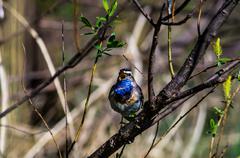 Blue-throated robin Stock Photos