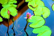 Stock Photo of water lily