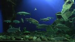 Baikal Limnological Museum, Lake Baikal Fish, Aquarium - stock footage