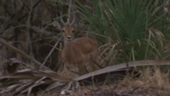 Stock Video Footage of Adult antelope ewe and ram in Niassa Reserve, Mozambique.