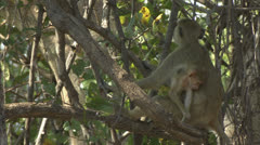 Female adult Savanna Baboon with infant in Niassa Reserve, Mozambique. Stock Footage