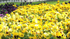 Sunny field of pansies Stock Footage