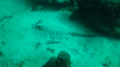 Stingrays from the Sea of Cortez, Mexico. Stock Footage
