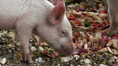 Young piglet eating slop - stock footage
