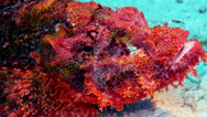Stock Video Footage of Bearded scorpionfish