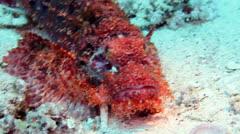 Bearded scorpionfish Stock Footage