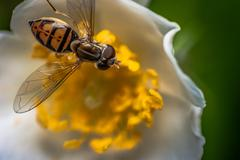 The Feeding of the Hover Fly - stock photo