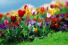 Tulip bed Stock Photos