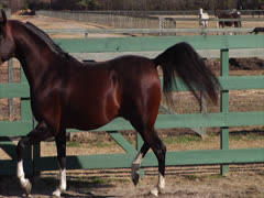 Stock Video Footage of Stallion Prancing and Posing