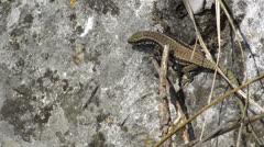 Stock Video Footage of lizard hiding behind vegetation  HD