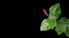 Blooming red Hibiscus flower Stock Footage