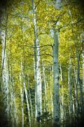 Aspens in Autumn Stock Photos