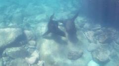 Californian sea lion Stock Footage