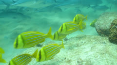 Panamic porkfish (Anisostremus taeniatus) Stock Footage