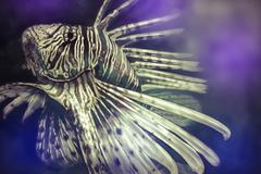Illustration made with a digital tablet scorpion fish dangerous, purple sea b Stock Illustration