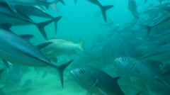 Trevally Bait Ball Stock Footage