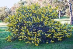 australian acacia - stock photo
