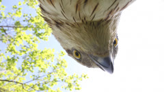 Bird of prey close up against the green. Honey buzzard Stock Footage