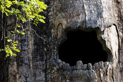 Big hollow tree in zoo Stock Photos