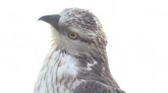Bird of prey is isolated on a white background. Honey buzzard Stock Footage