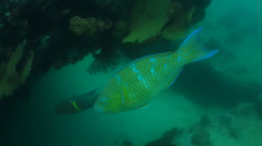 Parrotfish (Scarus Perrico) Stock Footage